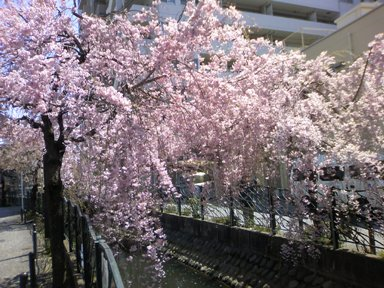 高津桜2011.jpg